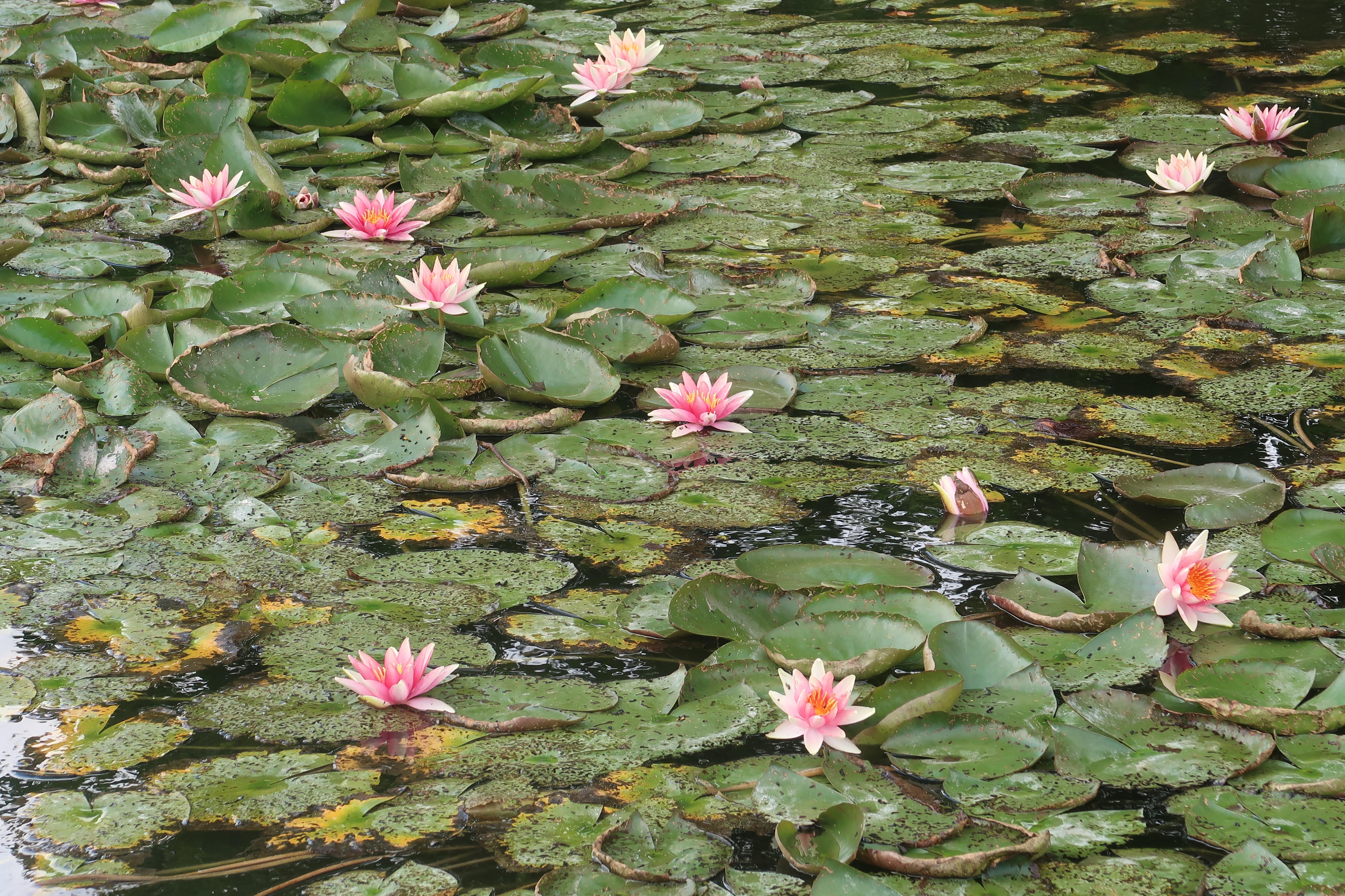 méditation lotus